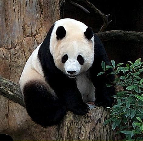 Ursul panda gigant