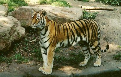 tigrul salbatic
