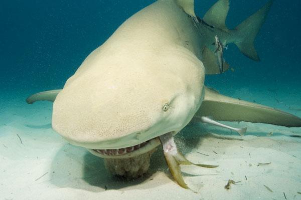 rechinul lamaie