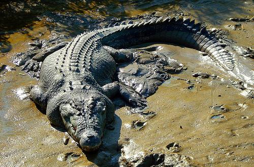 Crocodilul de apa sarata