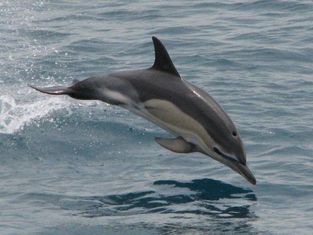delfinul comun