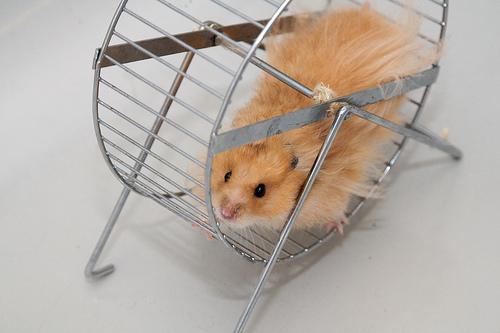 Hamster in roata