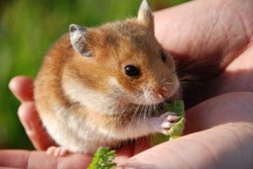 Manevrarea hamsterului