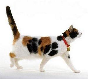 pisica-tricolora