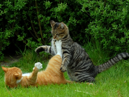 pisici-jucause