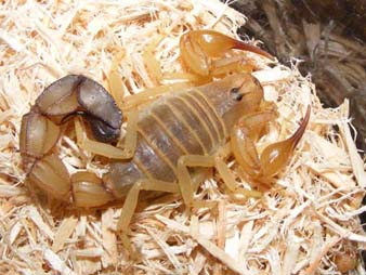 Scorpionul cu coada groasa
