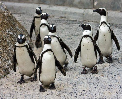 pinguinii africani