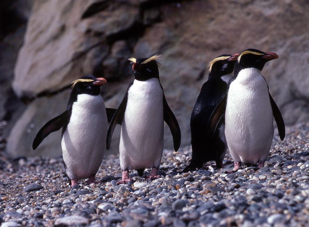 pinguinii Fiordland