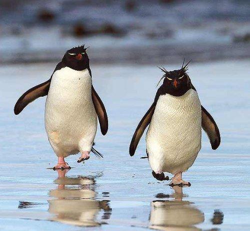 pinguini Rockhopper