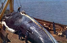 vanatoare de balene