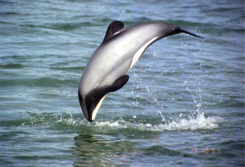 delfinul lui Hector