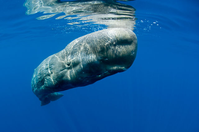 Balena sperma