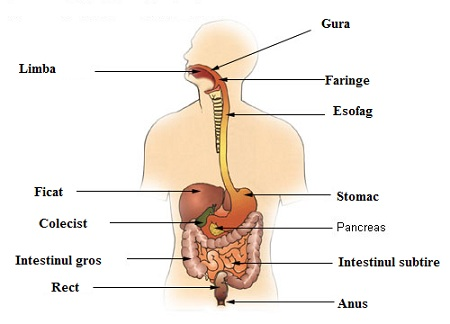 Tubul digestiv