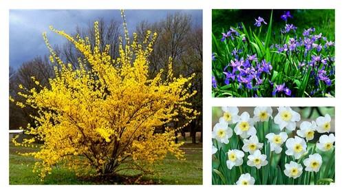 Forsythia, Iris, Narcise