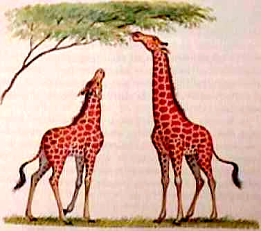 Evolutia girafelor