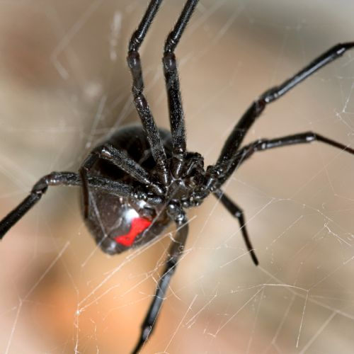 Black Widow Spider (Vaduva Neagra)