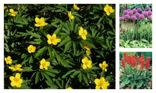 Pastita, Allium, Rodul pamantului