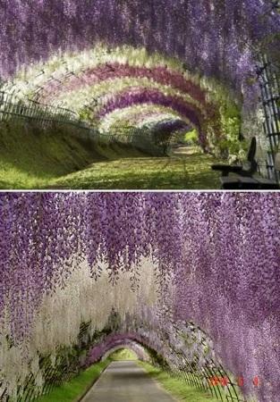 Tunelul Wisteria, Japonia
