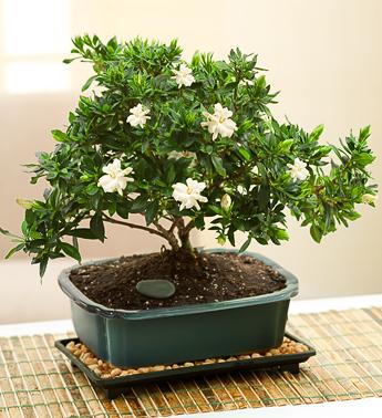 Gardenia tunsa sub forma de bonsai