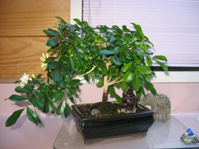 Bonsai realizat din murraya