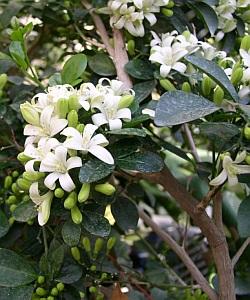 Buchet de flori de Murraya Exotica
