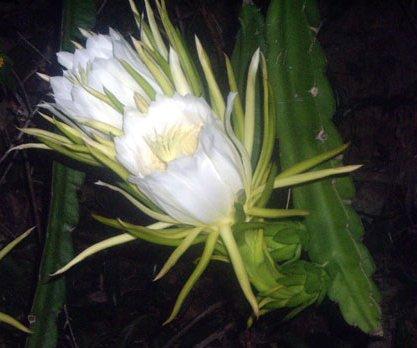 Floarea de cactus peruvian