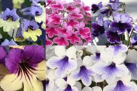 Flori de streptocarpus