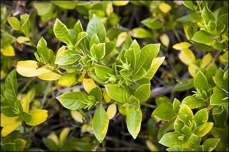 Gardenia afectata de cloroza