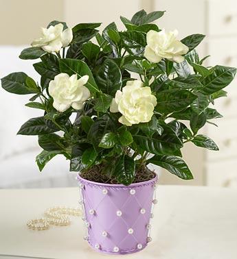 Gardenia in ghiveci