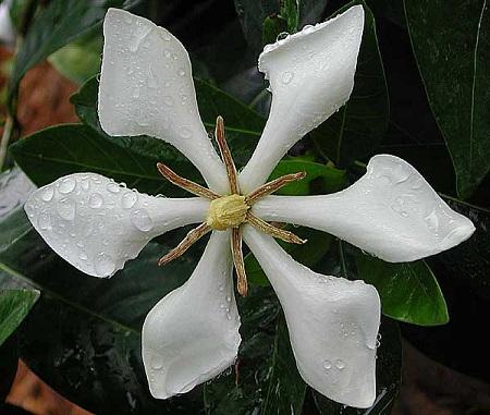 Gardenia kailarsenia