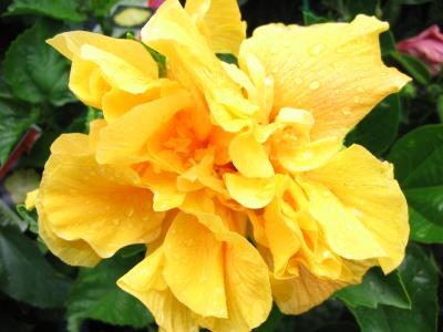 Hibiscus galben involt