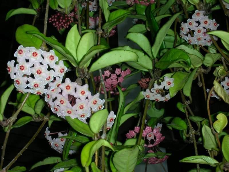 Floarea De Ceara O Minunata Planta Decorativa De Interior