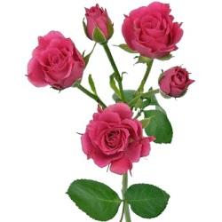 trandafiri roz inchis