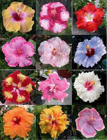 Varietati de hibiscus