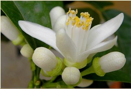 Flori de pomelo