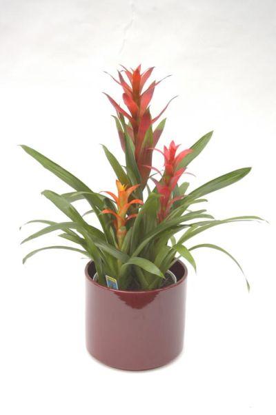 10 plante de apartament usor de intretinut for Plante bromelia