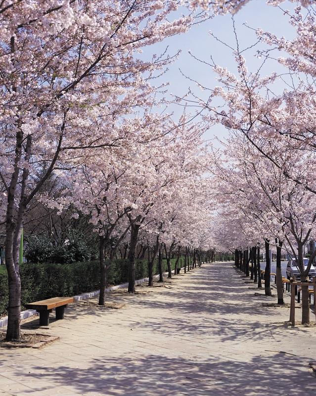 Sakura - flori de cires
