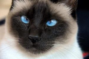 pisica-siameza