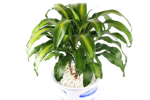 Poison Proof Your Home For Pets as well Zece plante de apartament toxice pentru caini si pisici 6575 besides 15 Poisonous Plants additionally 9 Non Toxic House Plants Buy Cat Parents moreover Can Feed Dog. on what house plants are bad for cats