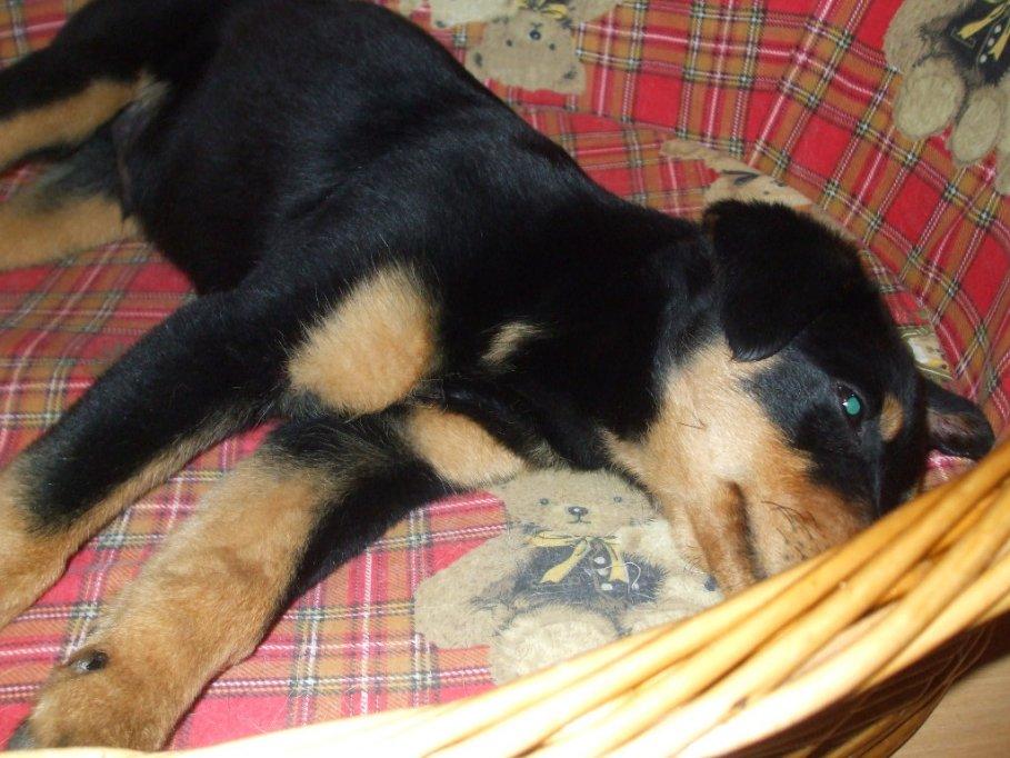 Pui de Rottweiler abandonat dat spre adoptie (Abandoned Rottweiler puppy given for adoption)