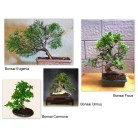 Cum se ingrijeste un bonsai?
