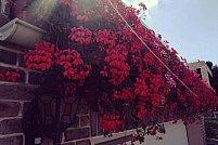 Cum se îngrijesc plantele de balcon - Sere Flori Mihăiești dispune de elementele necesare